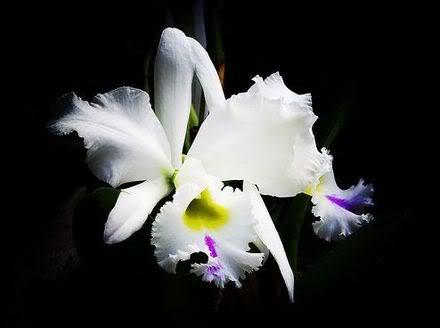 orquidea1