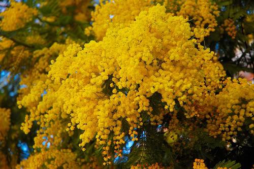 flores_acacia